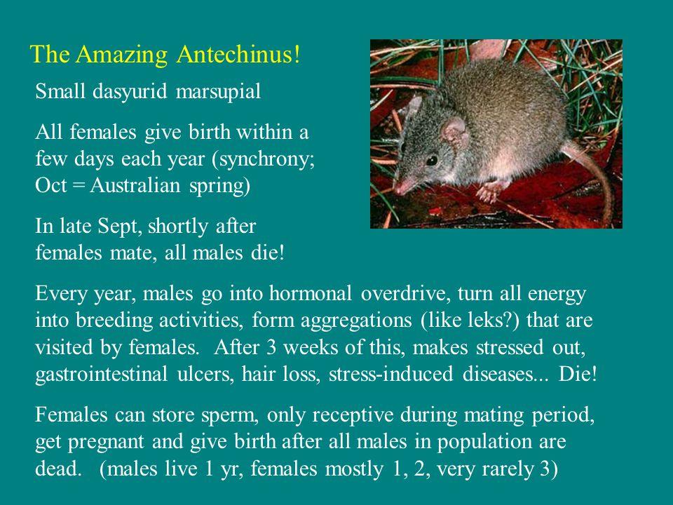 The Amazing Antechinus.