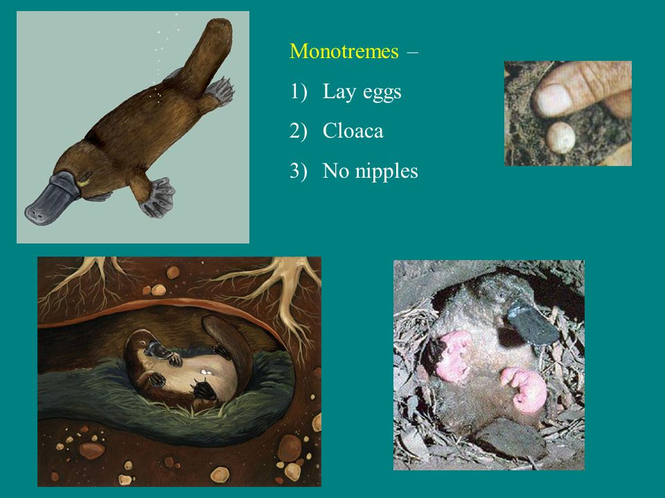 Some features of monotreme reproduction Ovaries larger (relative to body size) than other mammals Oviducts open into common urogenital sinus, similar to reptile cloaca (meaning of name monotreme ) Milk secreted by glands in skin, licked from tufts of fur at concentrations of glands Testes abdominal, penis is sac in floor of cloaca Young have egg tooth like birds to help break out of egg Platypus: 1-2 eggs Echidna: 1 egg