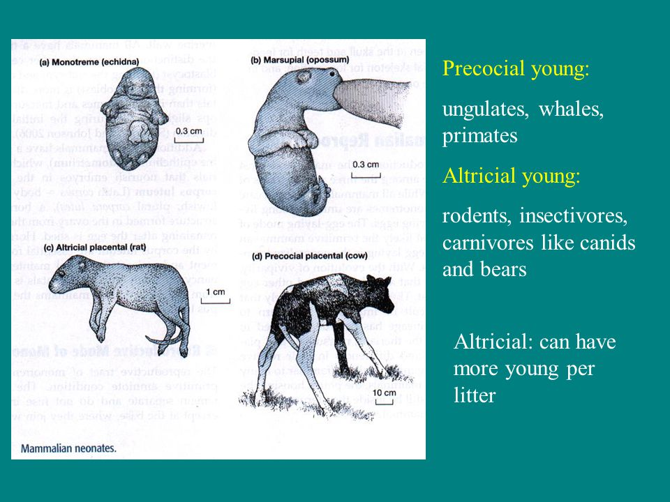 Precocial young: ungulates, whales, primates Altricial young: rodents, insectivores, carnivores like canids and bears Altricial: can have more young per litter