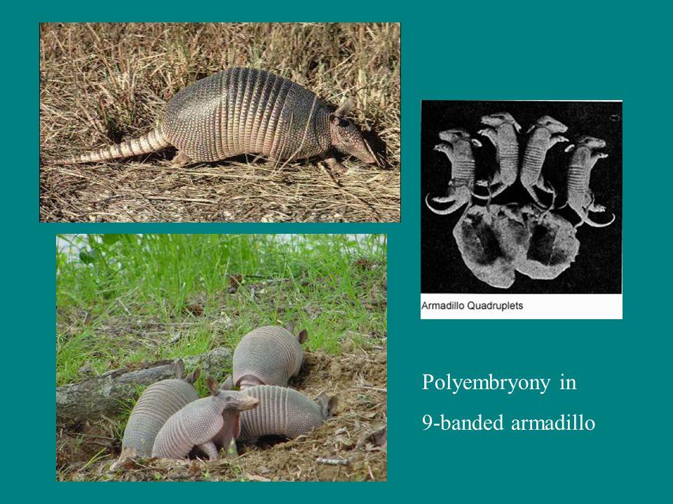 Polyembryony in 9-banded armadillo
