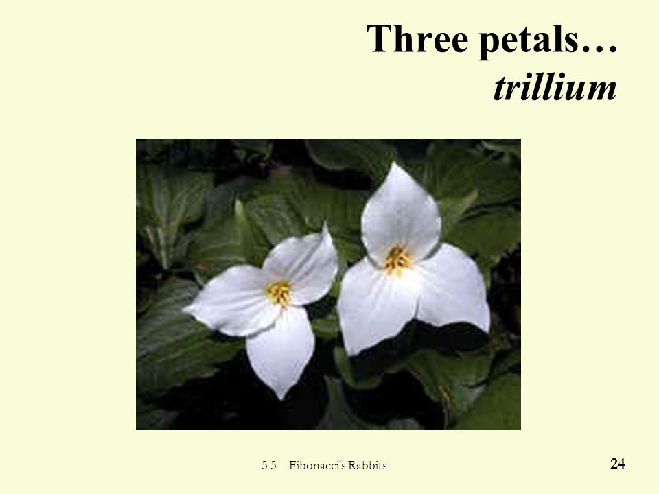 5.5 Fibonacci's Rabbits 23 Two-petaled flowers… euphorbia