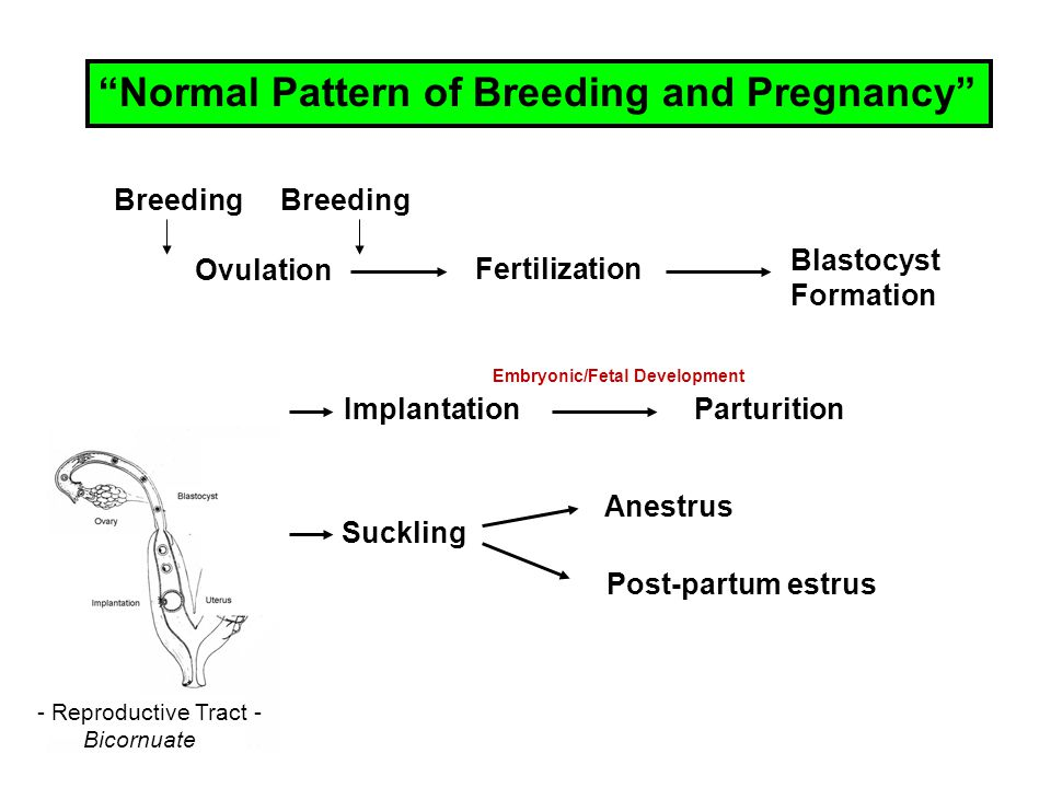 M = Adult male y = juvenile female 0 – 24 = hours of contact with Adult female Parous = pregnant Nulliparous = non-pregnant Delay of reproductive maturation last 24-92 days.