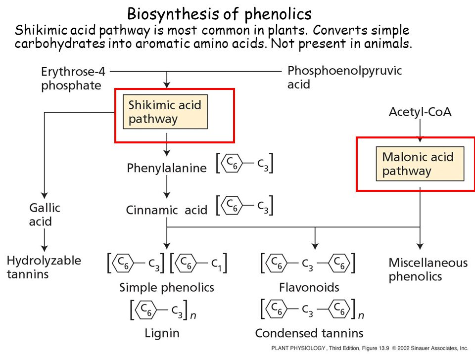 Biosynthesis of phenolics Shikimic acid pathway is most common in plants.
