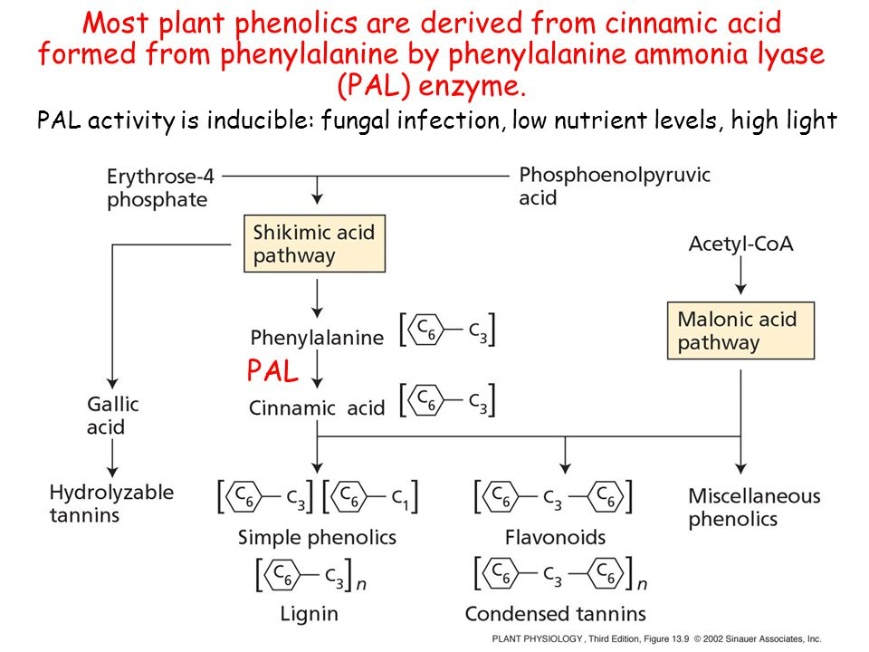 Most plant phenolics are derived from cinnamic acid formed from phenylalanine by phenylalanine ammonia lyase (PAL) enzyme. PAL PAL activity is inducib