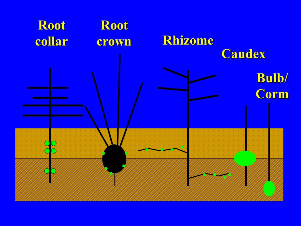 Root collar Root crown Rhizome Caudex Bulb/ Corm