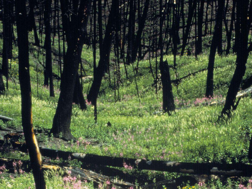 BURIED TREASURES: Perennials Underground buds or growing pointsUnderground buds or growing points –Dormant before fire –Meristem tissues (i.e.