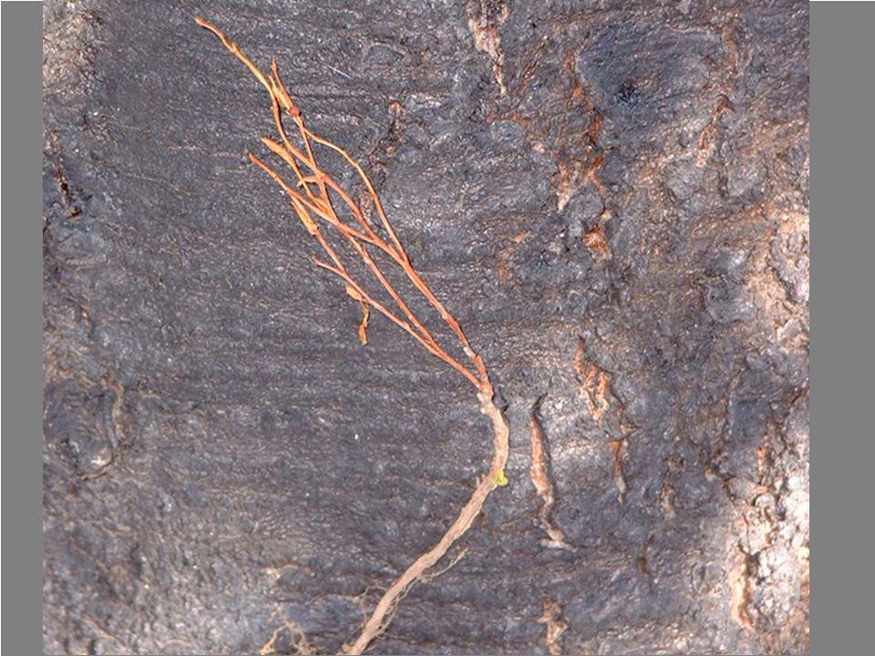 Litter & Duff Mineral soil CAUDEX