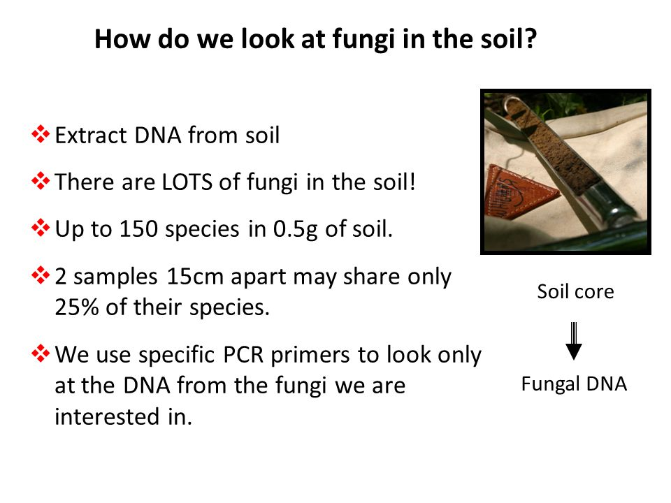 How do we look at fungi in the soil?  Extract DNA from soil  There are LOTS of fungi in the soil!  Up to 150 species in 0.5g of soil.  2 samples 1