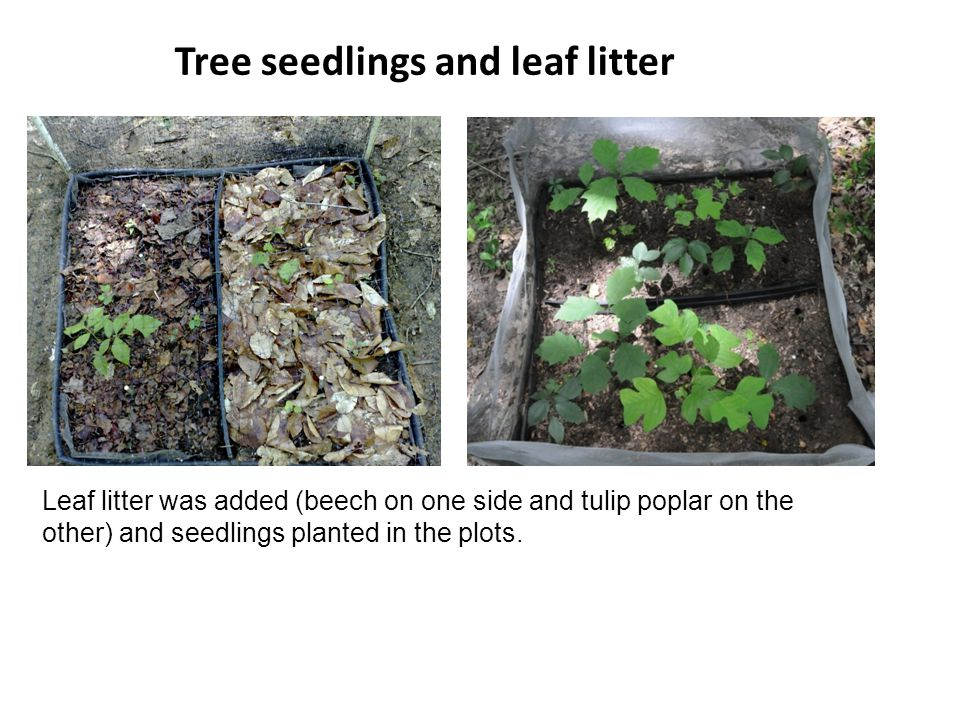Leaf litter was added (beech on one side and tulip poplar on the other) and seedlings planted in the plots. Tree seedlings and leaf litter