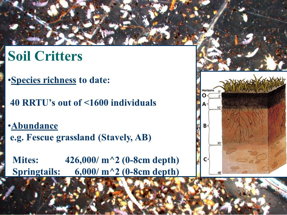 Soil Critters Species richness to date: 40 RRTU's out of <1600 individuals Abundance e.g.