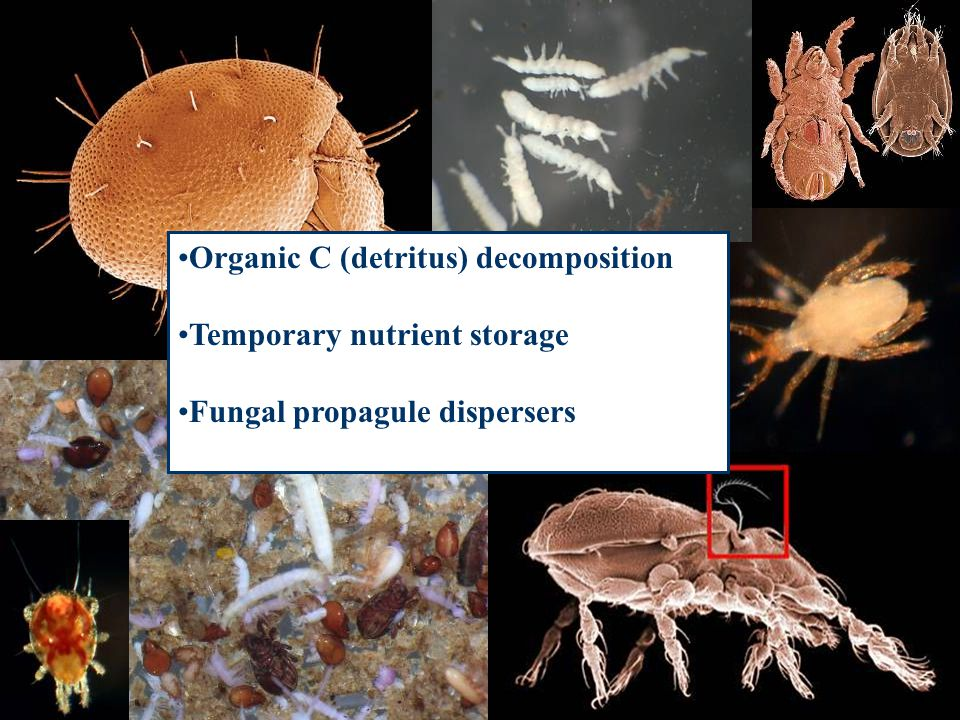 Organic C (detritus) decomposition Temporary nutrient storage Fungal propagule dispersers