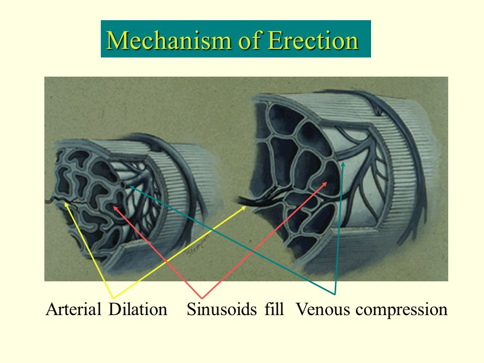 Mechanism of Erection Arterial Dilation Sinusoids fill Venous compression