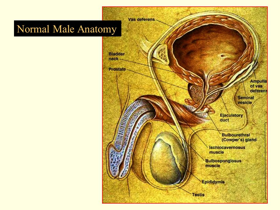 Normal Male Anatomy