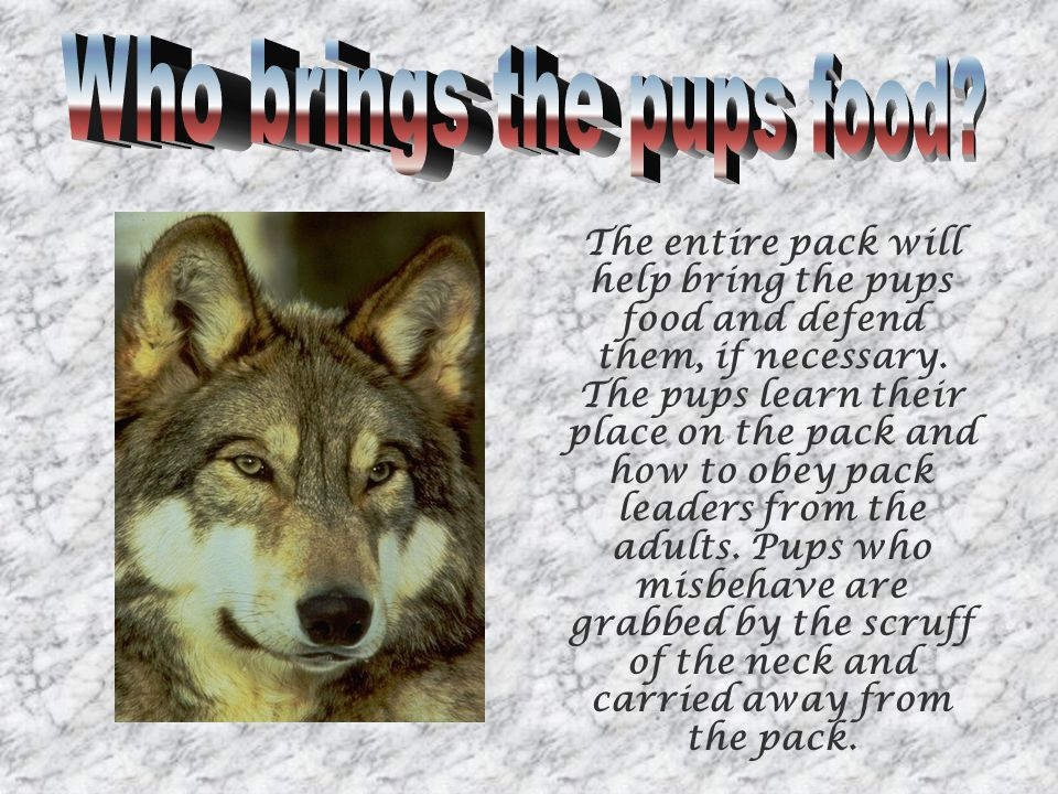 The entire pack will help bring the pups food and defend them, if necessary.