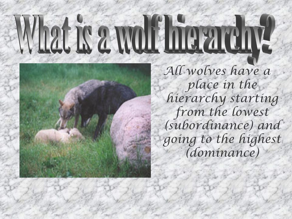 All wolves have a place in the hierarchy starting from the lowest (subordinance) and going to the highest (dominance)