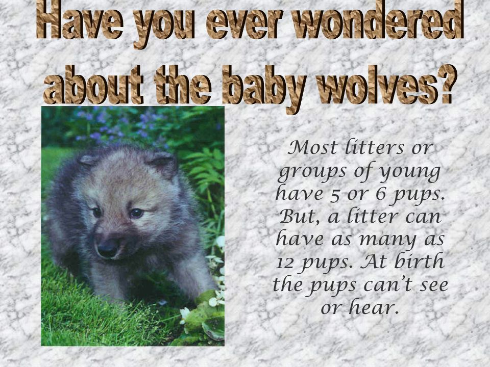 Most litters or groups of young have 5 or 6 pups. But, a litter can have as many as 12 pups.