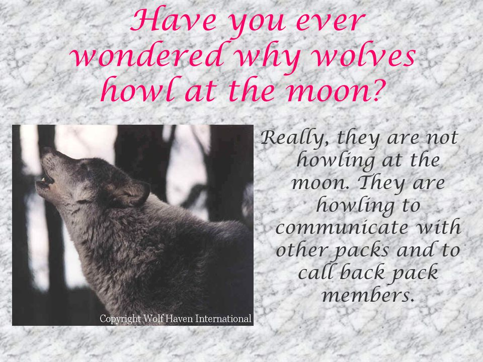 Have you ever wondered why wolves howl at the moon.