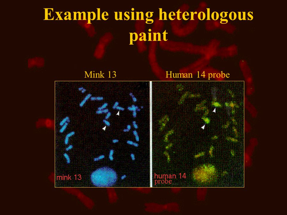 Example using heterologous paint Mink 13 Human 14 probe