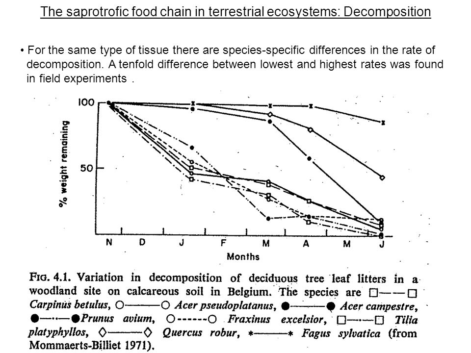 The saprotrofic food chain in terrestrial ecosystems: Decomposition For the same type of tissue there are species-specific differences in the rate of decomposition.