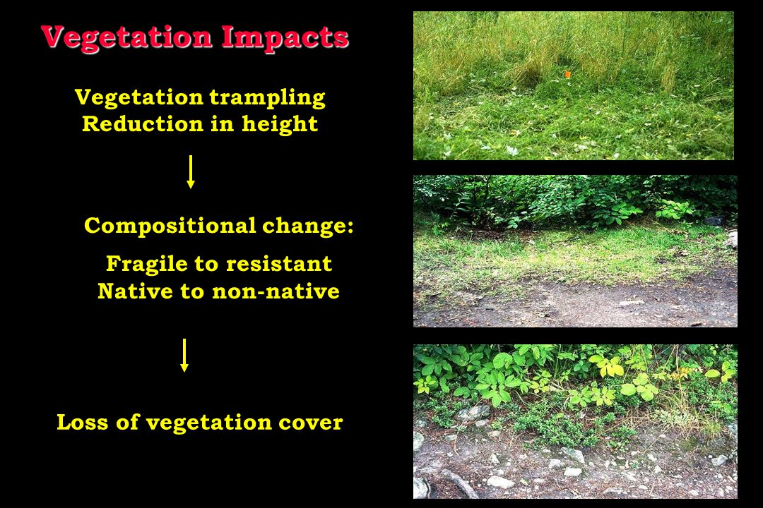 Vegetation Impacts Vegetation trampling Reduction in height Compositional change: Fragile to resistant Native to non-native Loss of vegetation cover