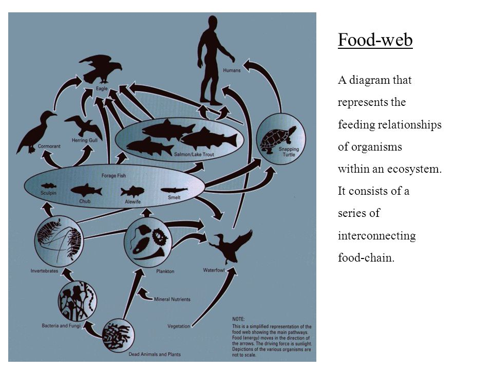Food-web A diagram that represents the feeding relationships of organisms within an ecosystem. It consists of a series of interconnecting food-chain.