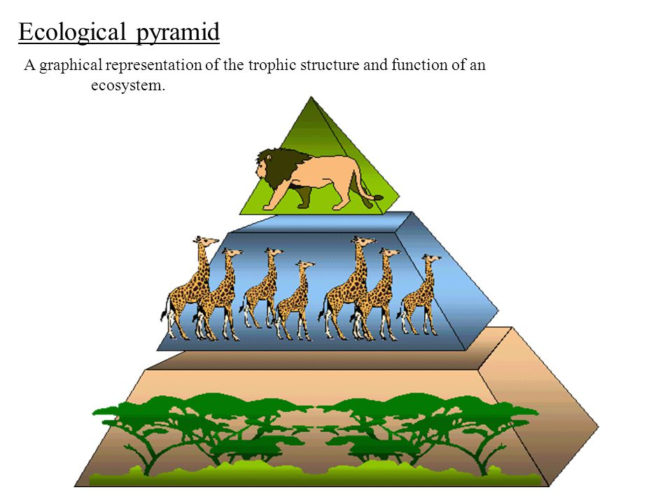 Ecological pyramid A graphical representation of the trophic structure and function of an ecosystem.