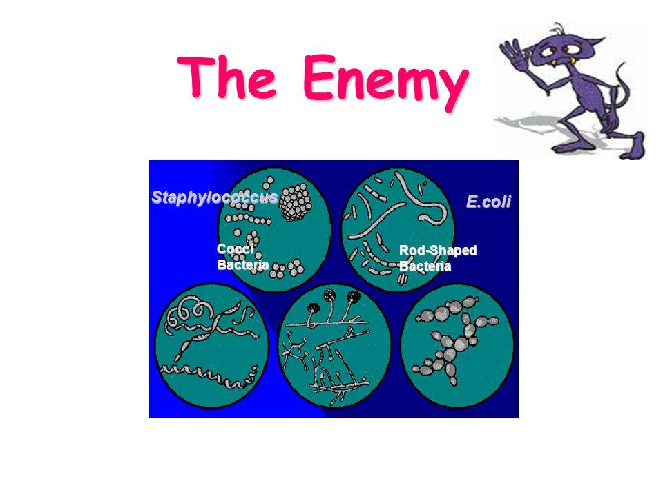 The Enemy Rod-ShapedBacteria CocciBacteria E.coli Staphylococcus