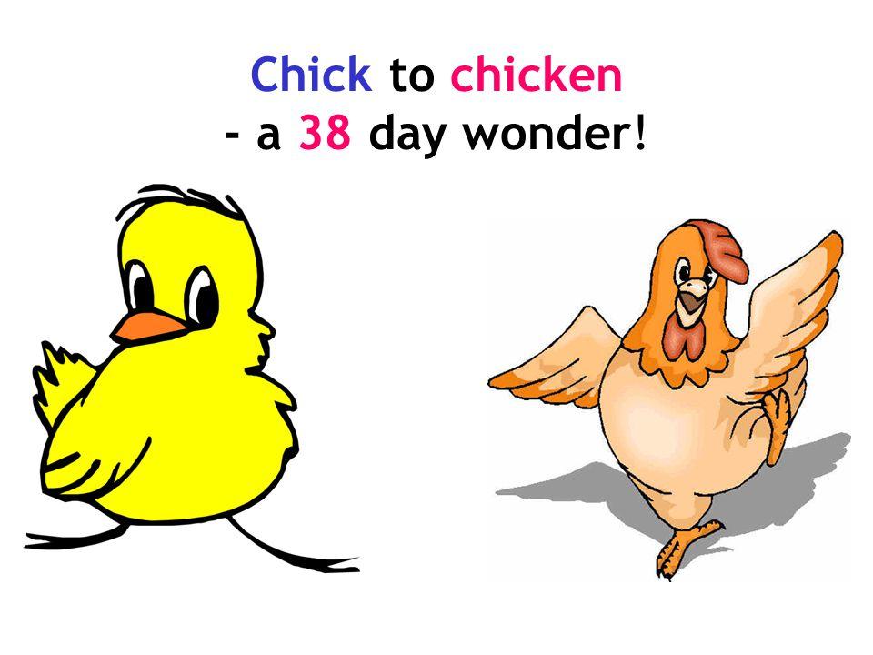 Chick to chicken - a 38 day wonder!