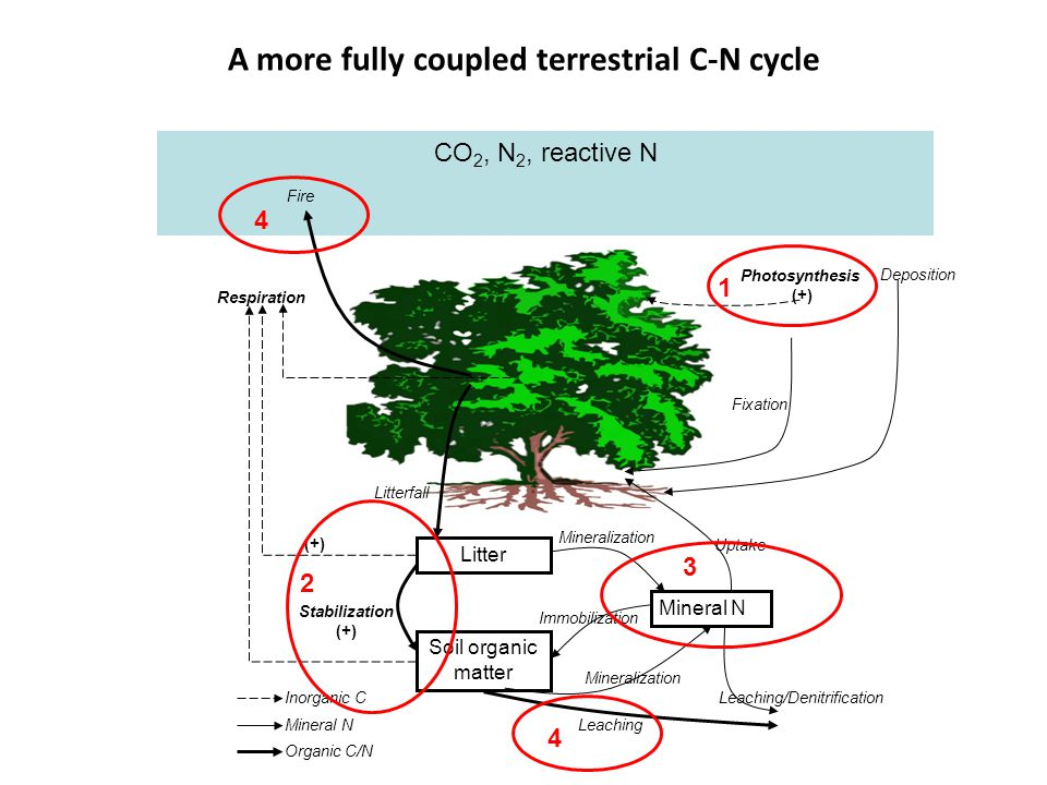 CO 2, N 2, reactive N A more fully coupled terrestrial C-N cycle Litter Soil organic matter Mineral N Respiration Fire Litterfall Stabilization (+) Mineralization Immobilization Leaching Leaching/Denitrification Uptake Fixation Photosynthesis (+) Inorganic C Mineral N Organic C/N (+) Deposition 1 2 3 4 4