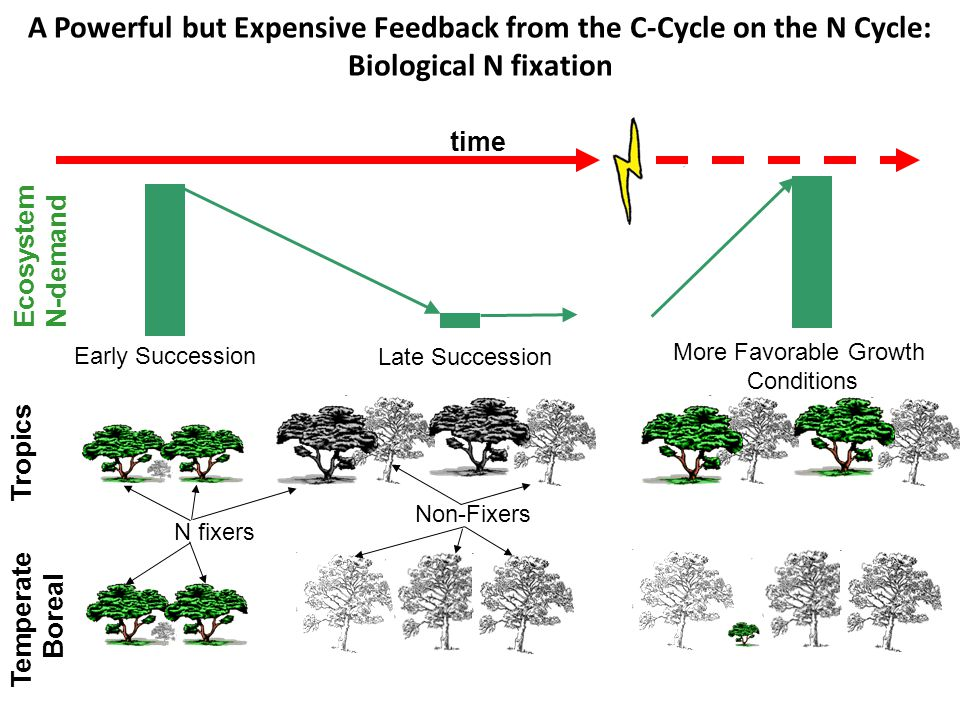 Tropics Temperate Boreal time Ecosystem N-demand Early Succession Late Succession More Favorable Growth Conditions N fixers Non-Fixers A Powerful but Expensive Feedback from the C-Cycle on the N Cycle: Biological N fixation
