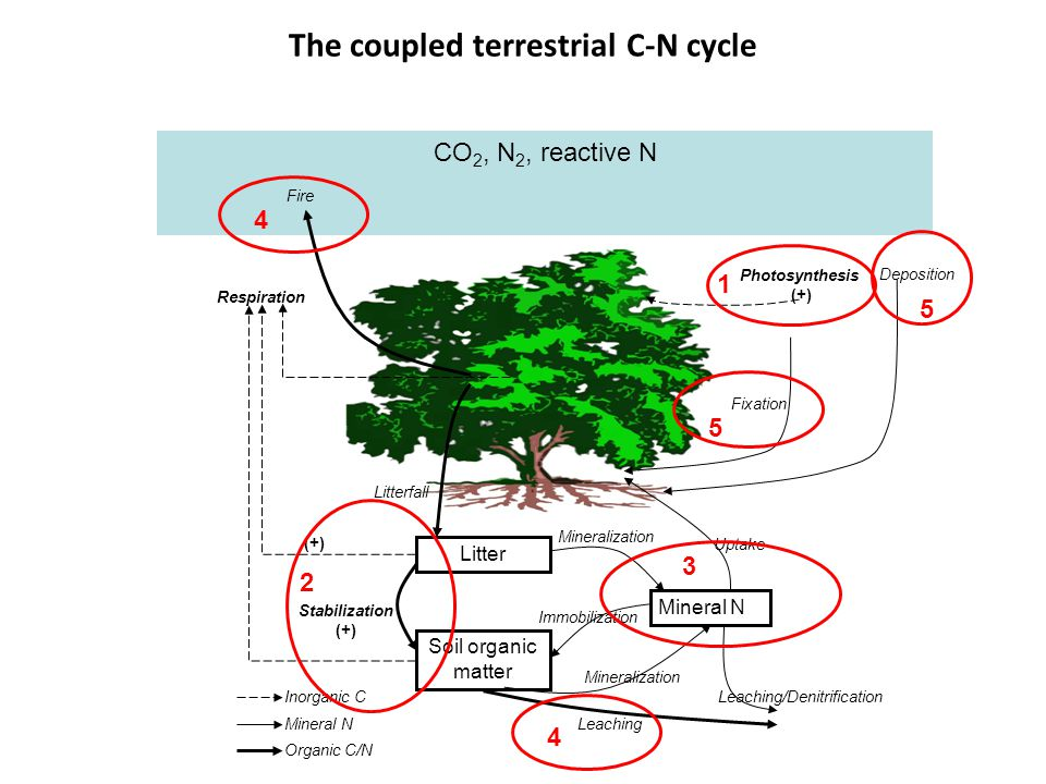 CO 2, N 2, reactive N The coupled terrestrial C-N cycle Litter Soil organic matter Mineral N Respiration Fire Litterfall Stabilization (+) Mineralization Immobilization Leaching Leaching/Denitrification Uptake Fixation Photosynthesis (+) Inorganic C Mineral N Organic C/N (+) Deposition 1 2 3 4 5 4 5