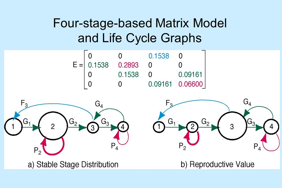 Four-stage-based Matrix Model and Life Cycle Graphs