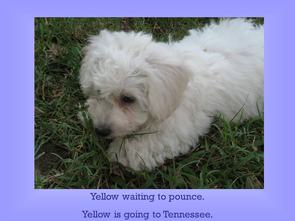 Yellow waiting to pounce. Yellow is going to Tennessee.