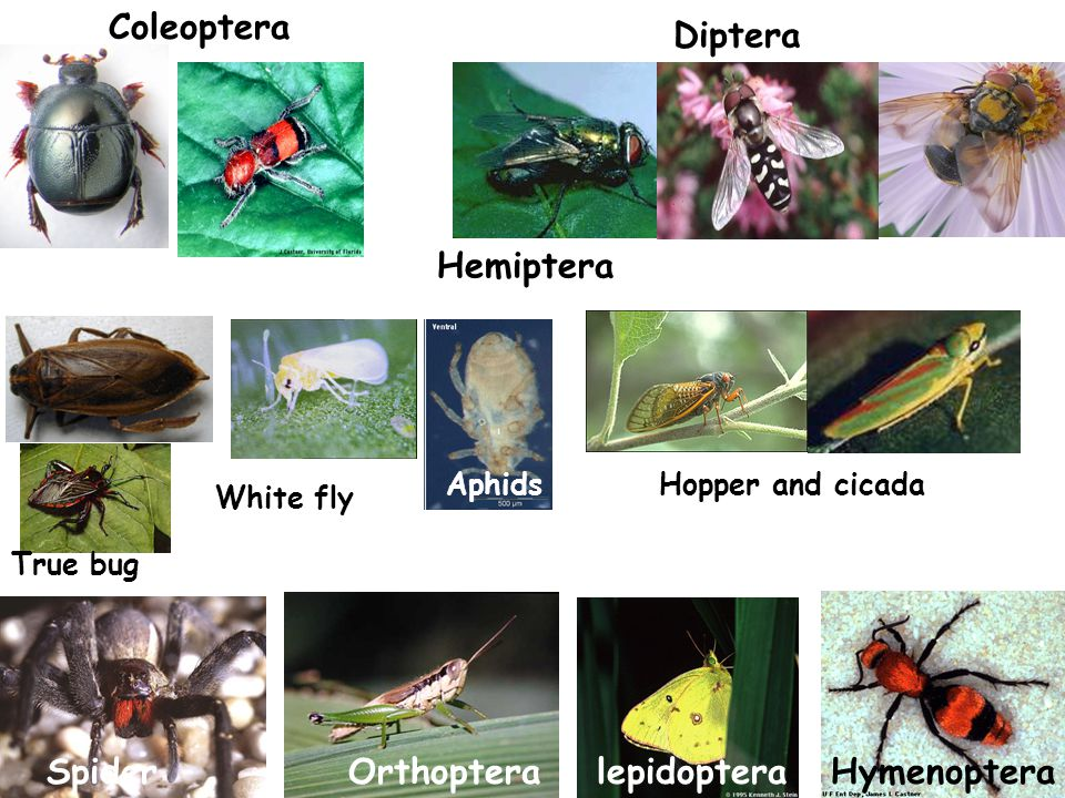Coleoptera Diptera Hemiptera True bug AphidsHopper and cicada White fly HymenopteralepidopteraOrthopteraSpider