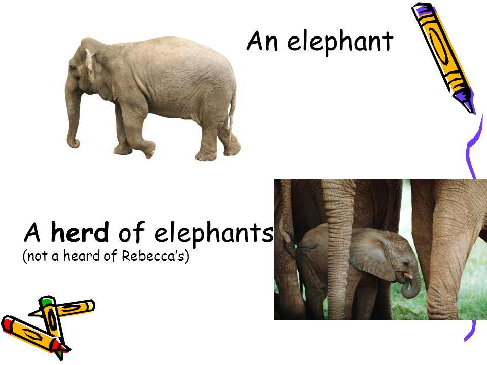A bloat of Hippopotami One Hippopotamus