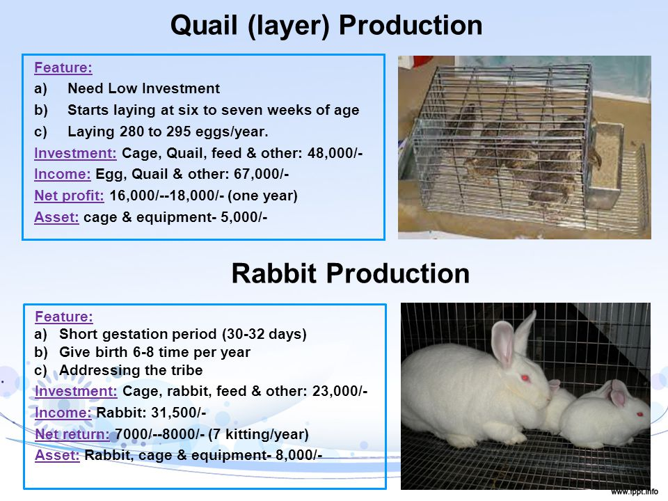 Quail (layer) Production Feature: a)Need Low Investment b)Starts laying at six to seven weeks of age c)Laying 280 to 295 eggs/year.