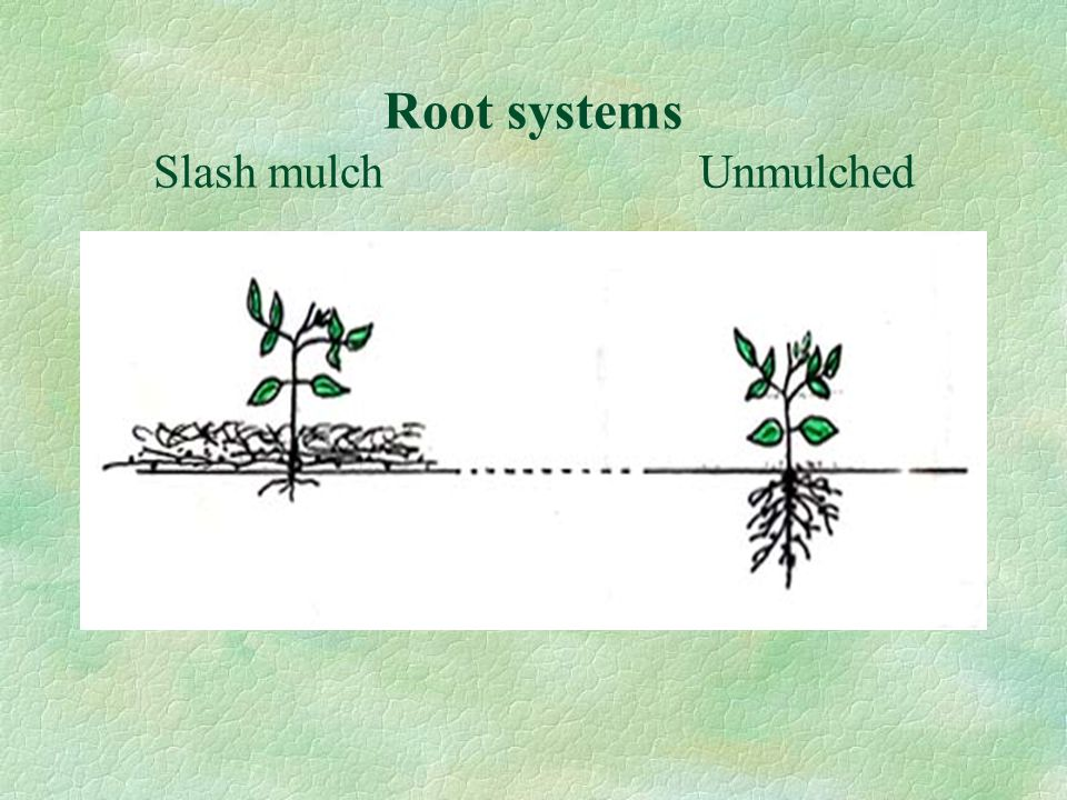 Root systems Slash mulch Unmulched