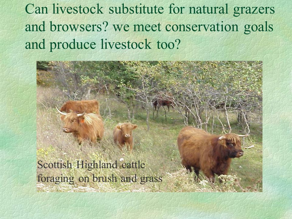 Can livestock substitute for natural grazers and browsers? we meet conservation goals and produce livestock too? Scottish Highland cattle foraging on