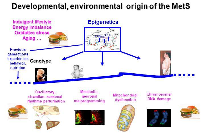 Developmental, environmental origin of the MetS Mitochondrial dysfunction Epigenetics CH3 Chromosome/ DNA damage Metabolic, neuronal malprogramming Os