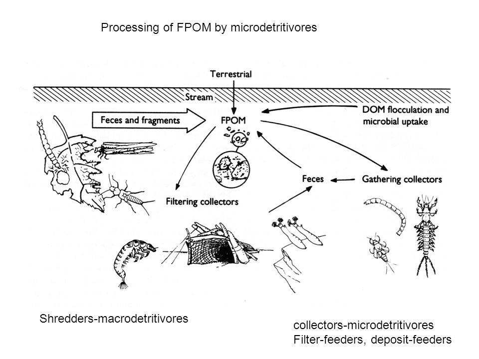 Processing of FPOM by microdetritivores Shredders-macrodetritivores collectors-microdetritivores Filter-feeders, deposit-feeders