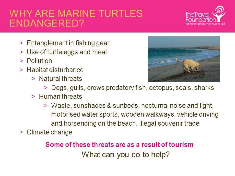 WHY ARE MARINE TURTLES ENDANGERED? >Entanglement in fishing gear >Use of turtle eggs and meat >Pollution >Habitat disturbance >Natural threats >Dogs,