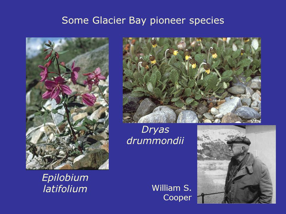 Some Glacier Bay pioneer species Dryas drummondii Epilobium latifolium William S. Cooper
