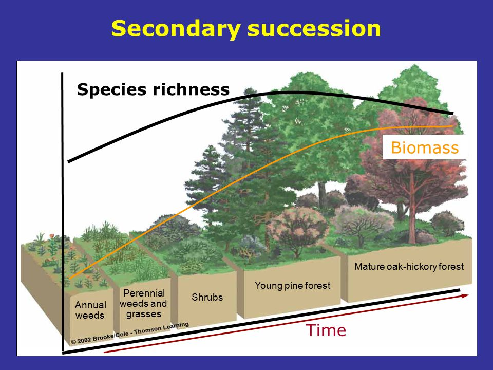 Secondary succession Annual weeds Perennial weeds and grasses Shrubs Young pine forest Mature oak-hickory forest Species richness Time Biomass