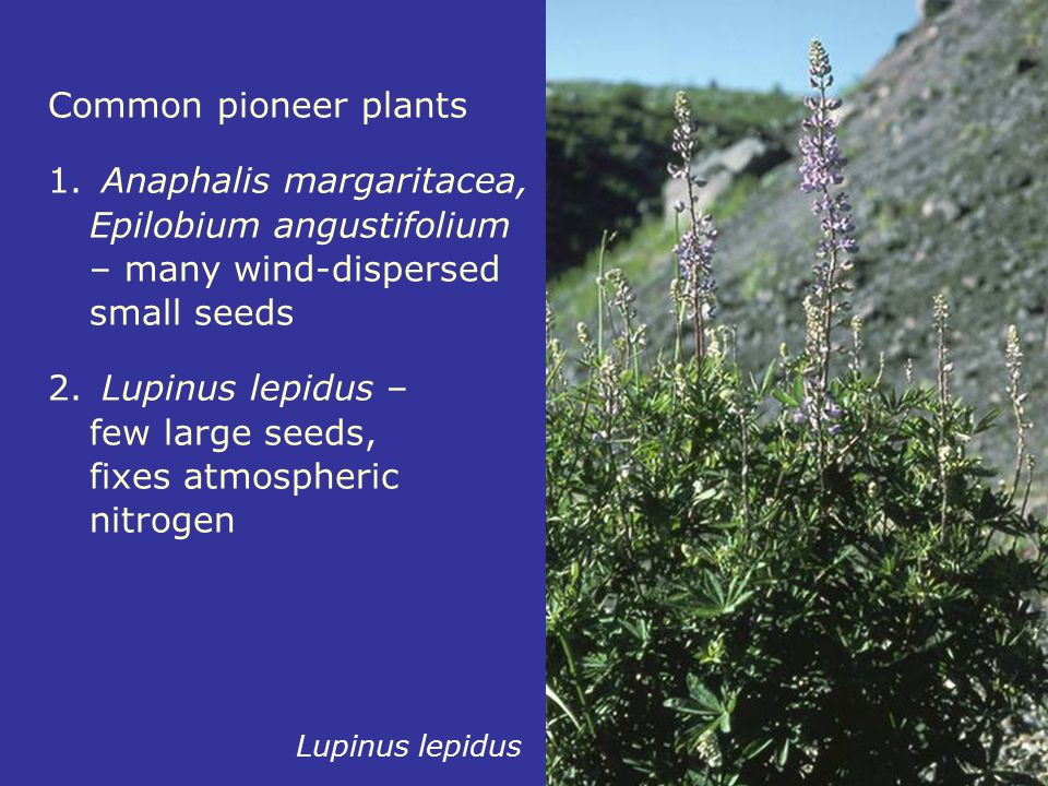 Common pioneer plants 1. Anaphalis margaritacea, Epilobium angustifolium – many wind-dispersed small seeds 2. Lupinus lepidus – few large seeds, fixes