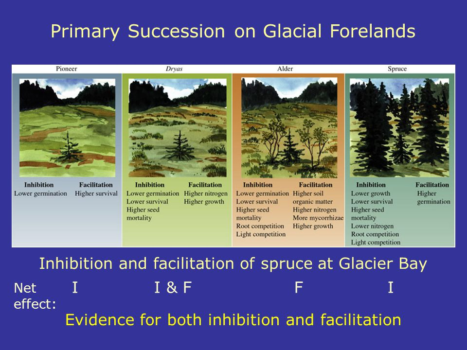 Inhibition and facilitation of spruce at Glacier Bay Primary Succession on Glacial Forelands Evidence for both inhibition and facilitation Net II & FF