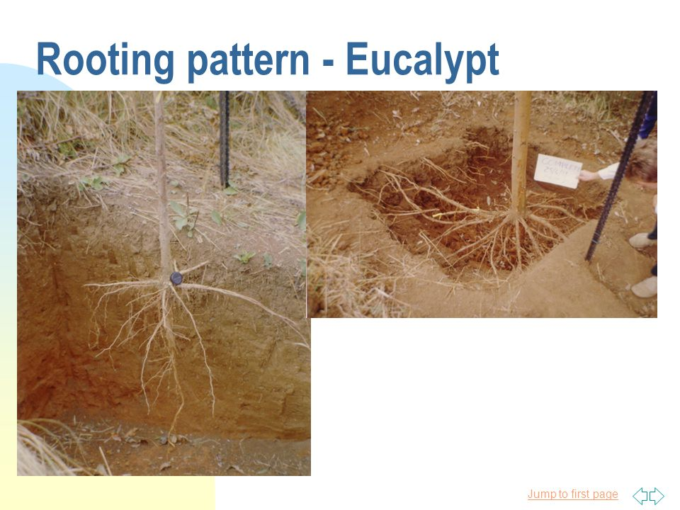 Jump to first page Rooting pattern - Eucalypt