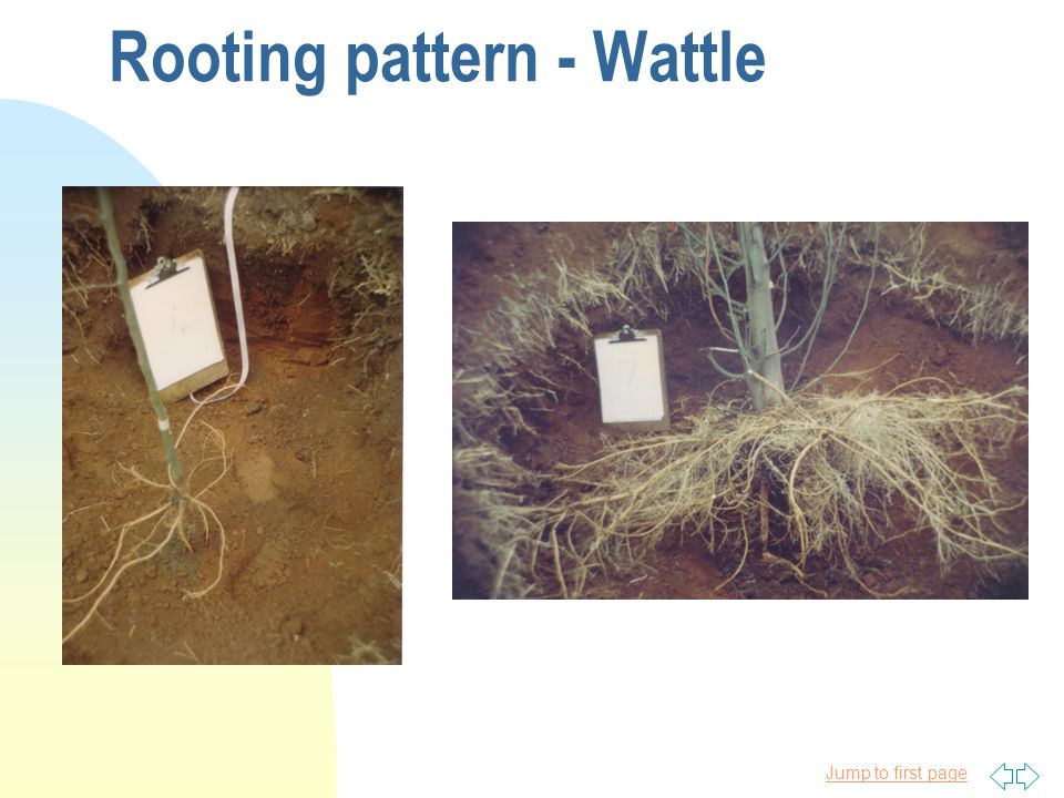 Jump to first page Rooting pattern - Wattle