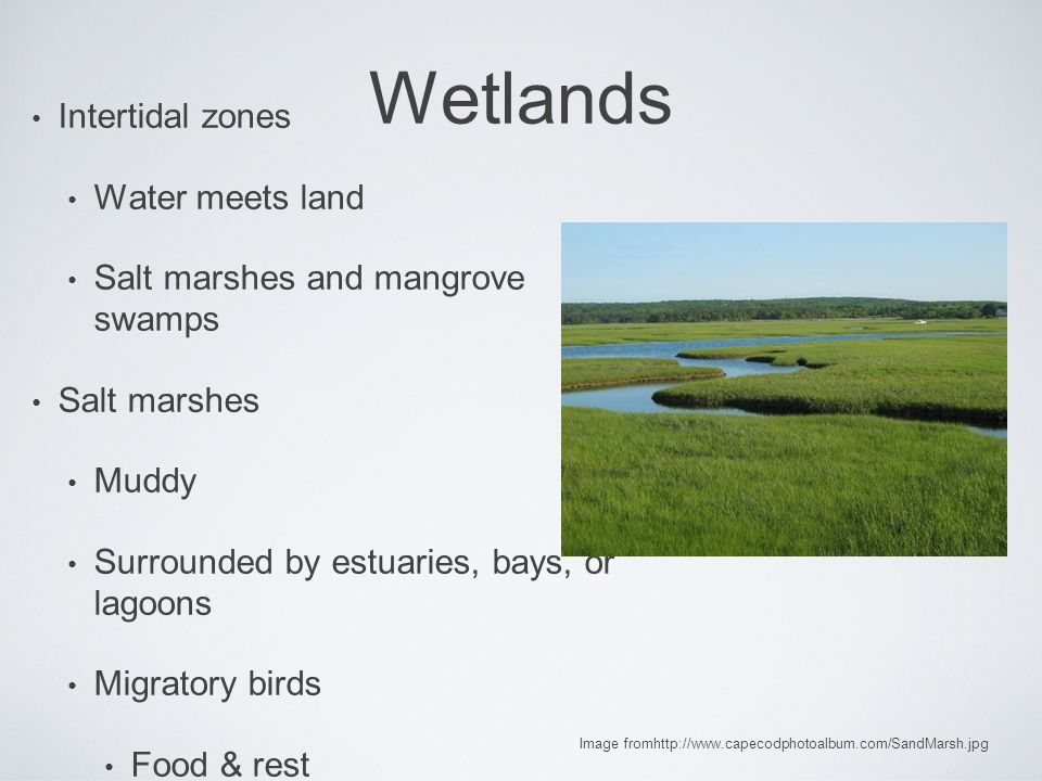 Wetlands Intertidal zones Water meets land Salt marshes and mangrove swamps Salt marshes Muddy Surrounded by estuaries, bays, or lagoons Migratory birds Food & rest Image fromhttp://www.capecodphotoalbum.com/SandMarsh.jpg