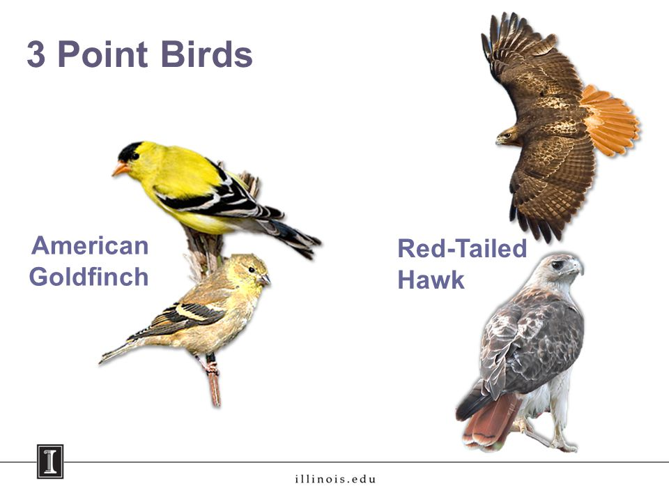 3 Point Birds American Goldfinch Red-Tailed Hawk