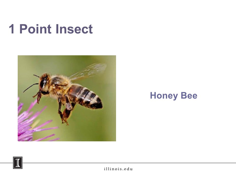 1 Point Insect Honey Bee